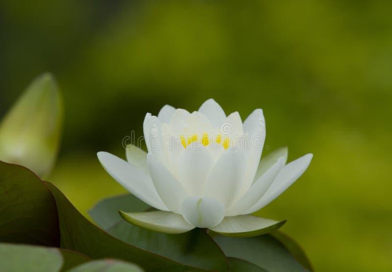 Vitt waterlily med gr?na sidor arkivbild