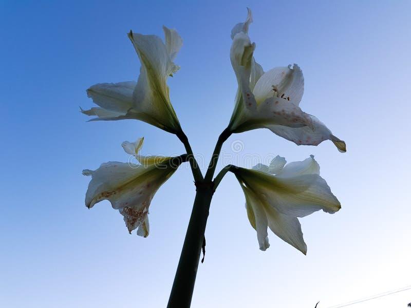 Vittatum de Hippeastrum, flor de la amarilis en todo su esplendor con el fondo azul en el jardín foto de archivo libre de regalías