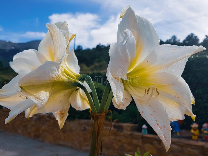 Vittatum de Hippeastrum, flor de la amarilis en todo su esplendor con el fondo azul en el jardín imágenes de archivo libres de regalías
