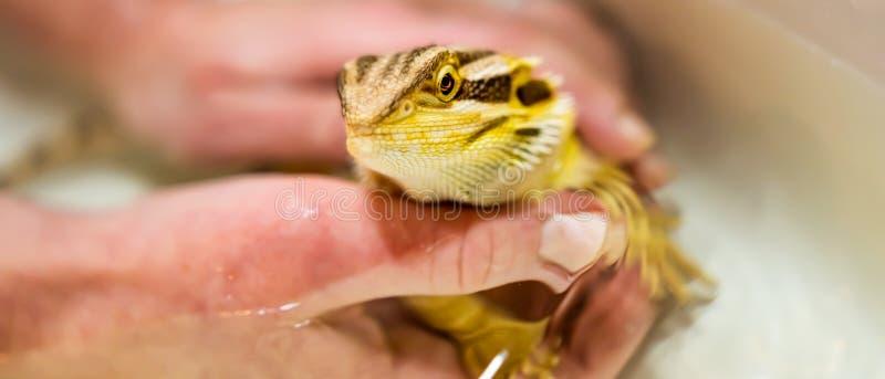 Vitticeps barbudos de Dragon Pogona que consiguen un baño de su dueño foto de archivo