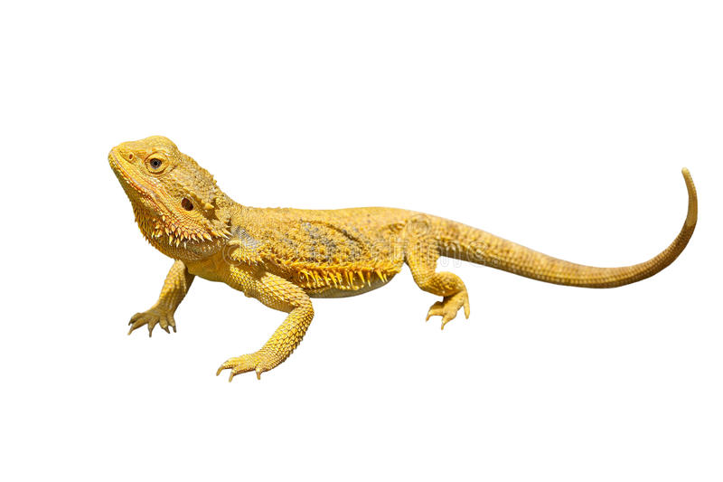 Vitticeps barbus de dragon ou de pogona sur le fond blanc photos stock
