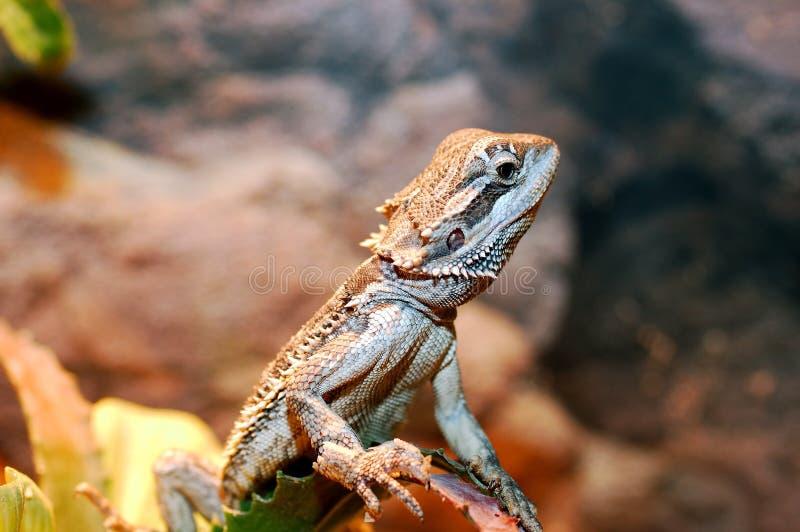 Download Vitticeps De Pogona, Dragão Farpado Australiano. Foto de Stock - Imagem de bearded, nave: 110478