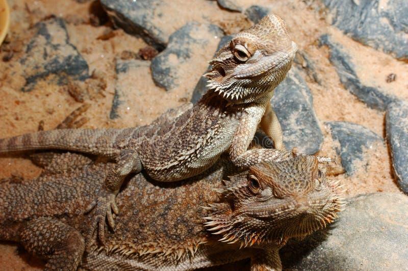 Download Vitticeps De Pogona, Dragão Farpado Australiano. Foto de Stock - Imagem de desperdício, rochas: 110480