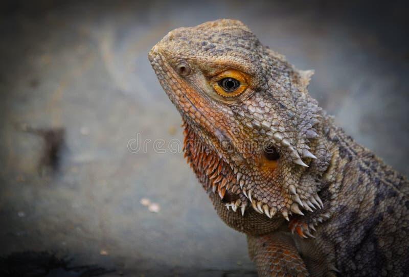 Vitticeps de Pogona, le dragon barbu central ou int?rieur photos stock