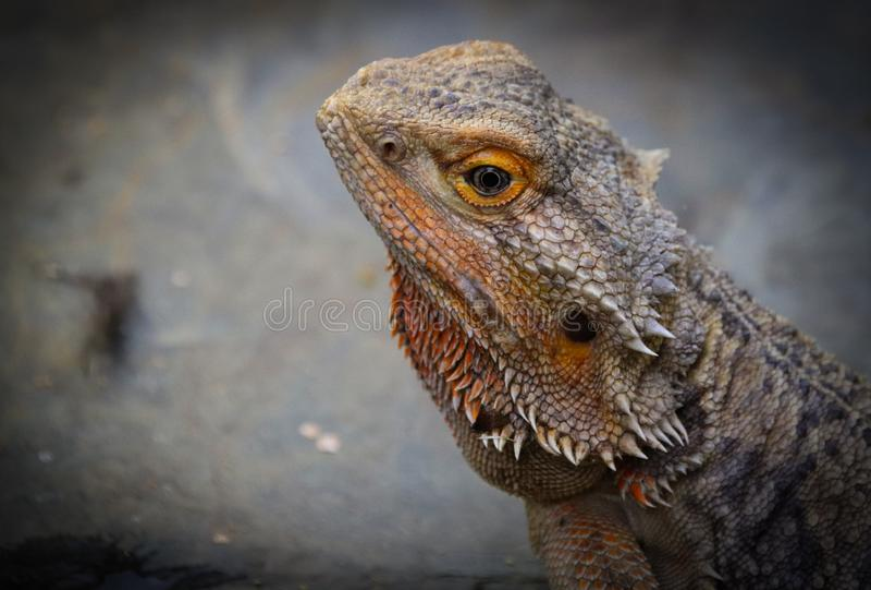 Vitticeps Pogona, центральный или внутренний бородатый дракон стоковые фото