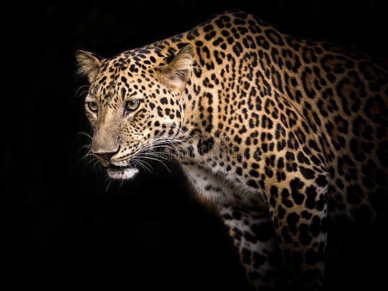 Vittime fissanti del leopardo in natura fotografia stock