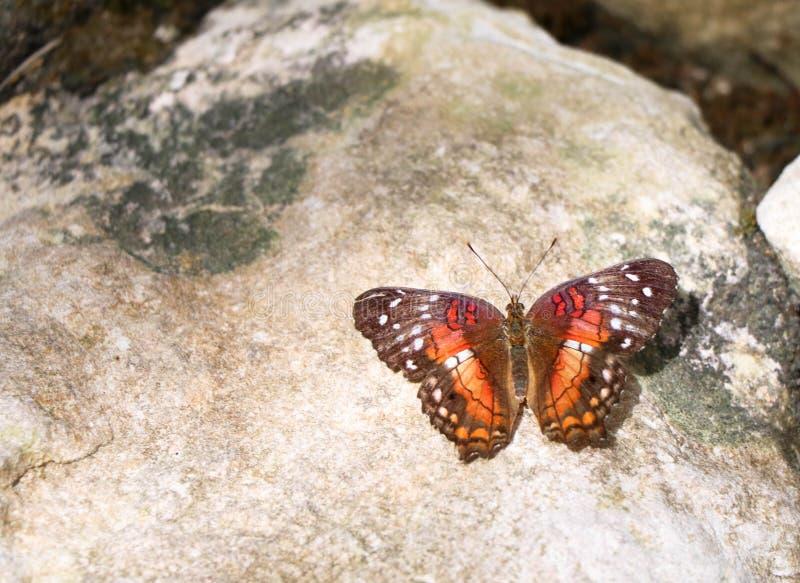 Vivacious barwiący motyl na barwiącej skale zdjęcia royalty free
