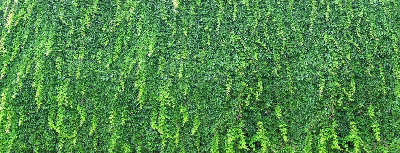 Vive a parede verde no jardim - coberto de vegetação com a hera foto de stock royalty free