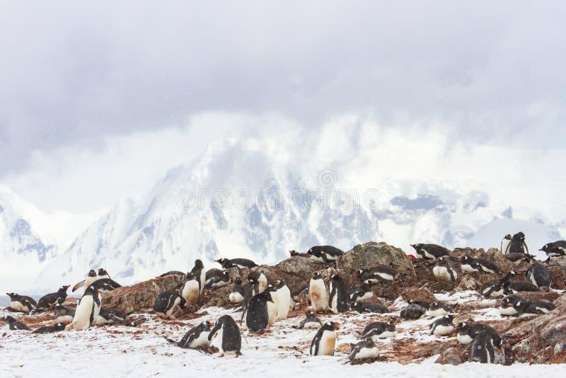 Viveiro do pinguim da ilha de Ronge, a Antártica imagens de stock