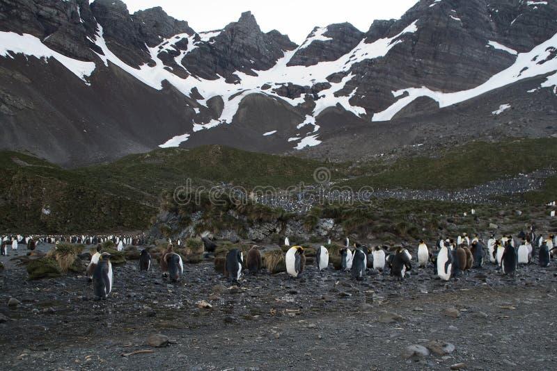 Viveiro do pinguim de rei no crepúsculo com as montanhas no fundo fotos de stock royalty free