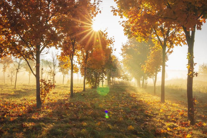 Vivid autumn nature with bright sunrays. Sunlight in colorful autumn morning. Yellow trees on october meadow on sunny morning. Vivid autumn nature with bright royalty free stock photos