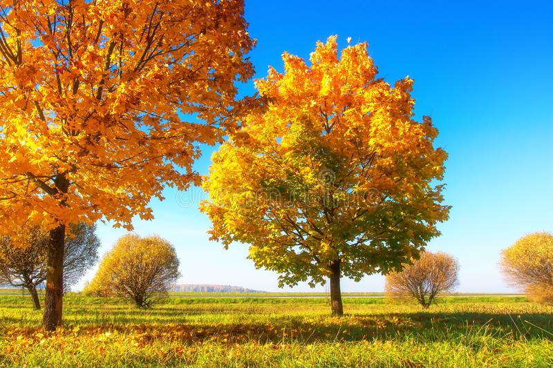 Vivid autumn scene. Yellow trees on sunny meadow. Sunny morning landscape of beautiful autumn. Autumn nature in sunlight royalty free stock photos