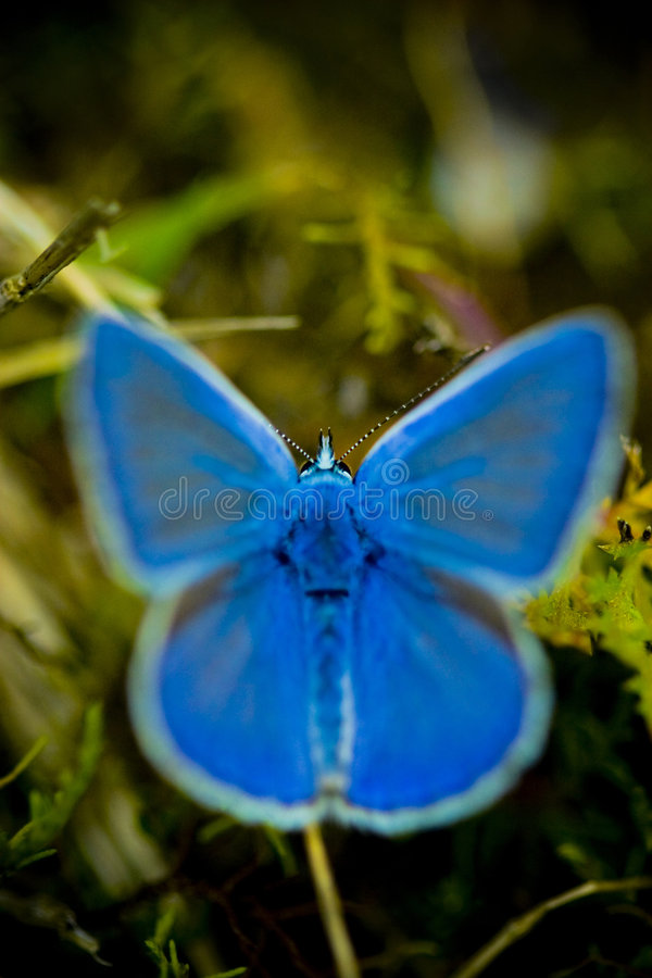 Vivid blue buterrfly royalty free stock images