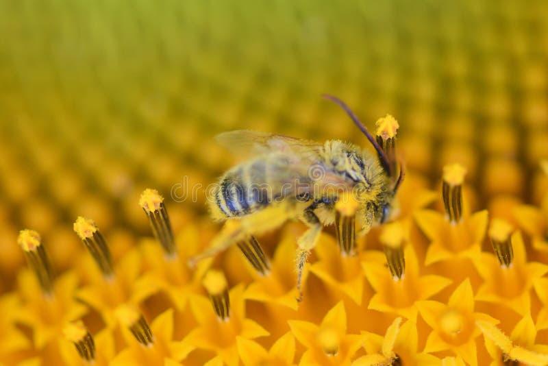 Vivid bright yellow Honey bee pollinate sunflower Micro photo stock image