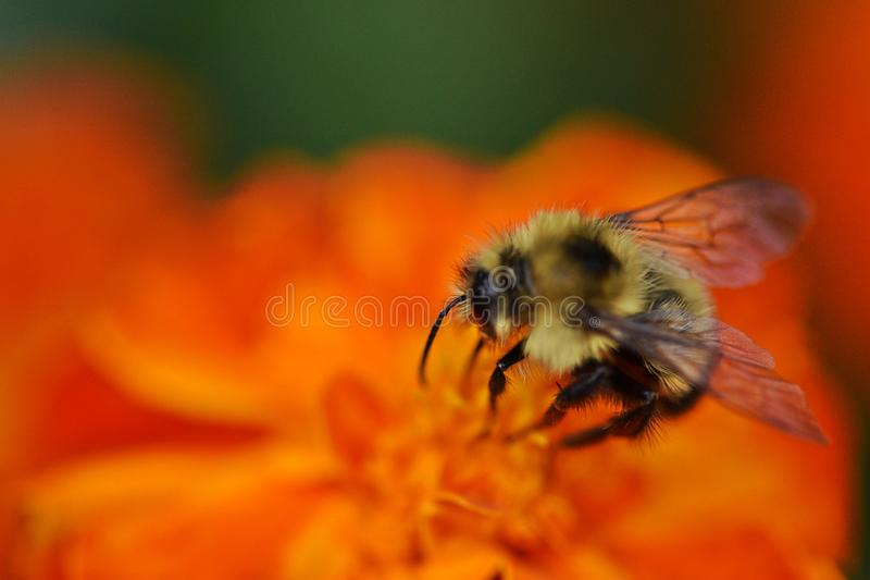 Vivid bumblebee pollinate bright Orange flower stock photo