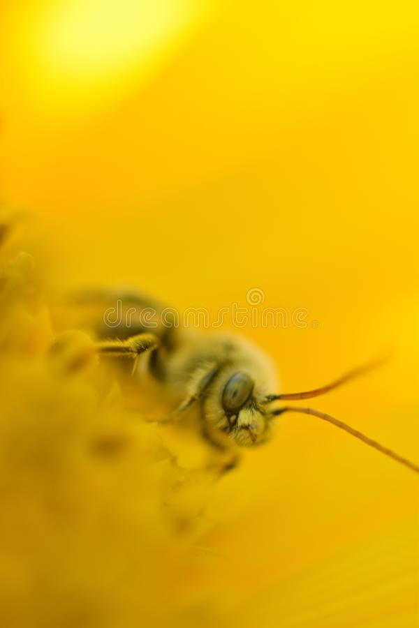 Vivid close up of a honey bees face and antennas on a bright yellow sunflower micro photo stock image