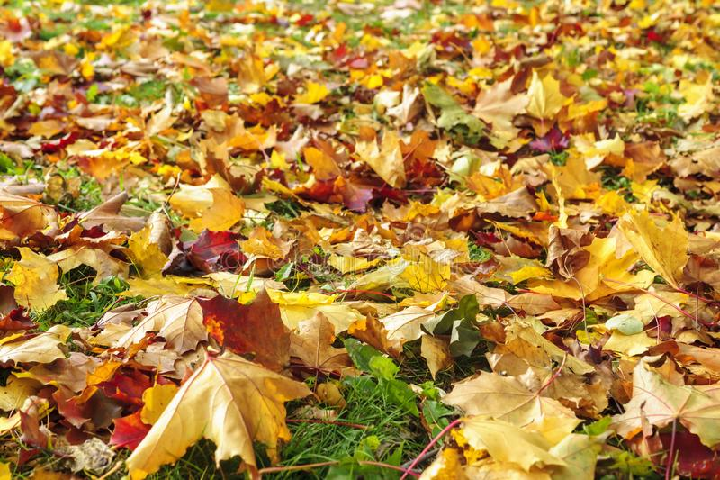 Maple leaves cover background in autumn. Vivid colored maple leaves cover background in autumn season royalty free stock photo
