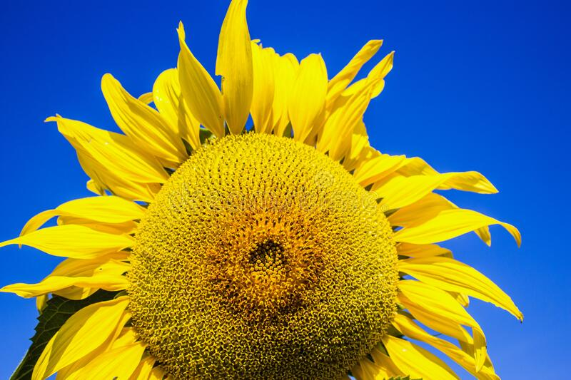 The vivid colors. The beauty of the sunflower, with its vivid and cheerful colors . the sunflower is full of details in the seeds royalty free stock photo