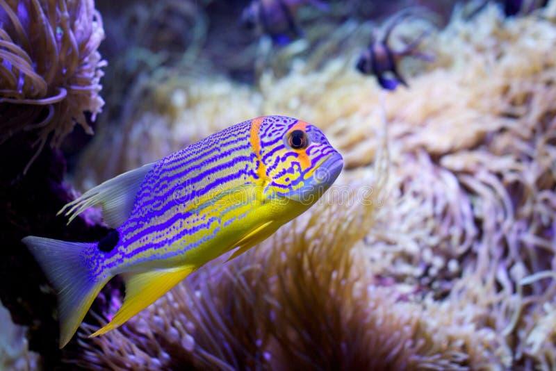 Vivid fish. Vivid and Colorful striped fish at monaco's aquarium royalty free stock photo