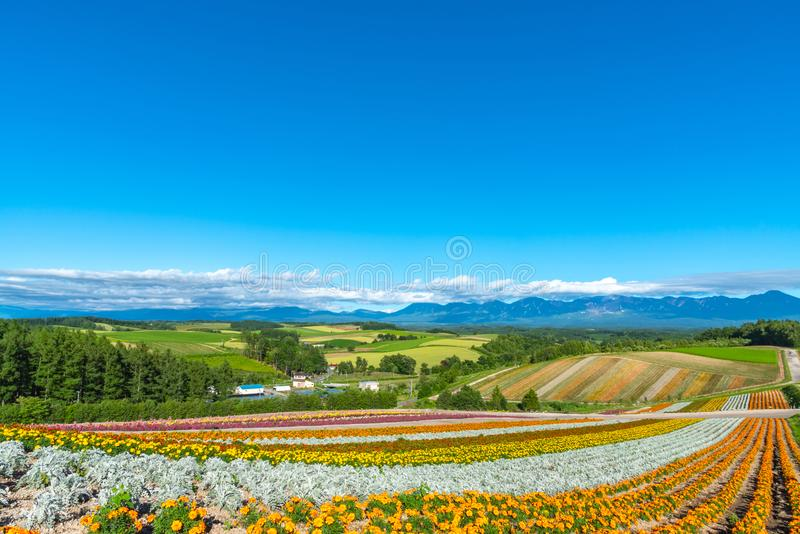 Vivid flowers streak pattern attracts visitors. Panoramic colorful flower field in Shikisai-no-oka stock photography
