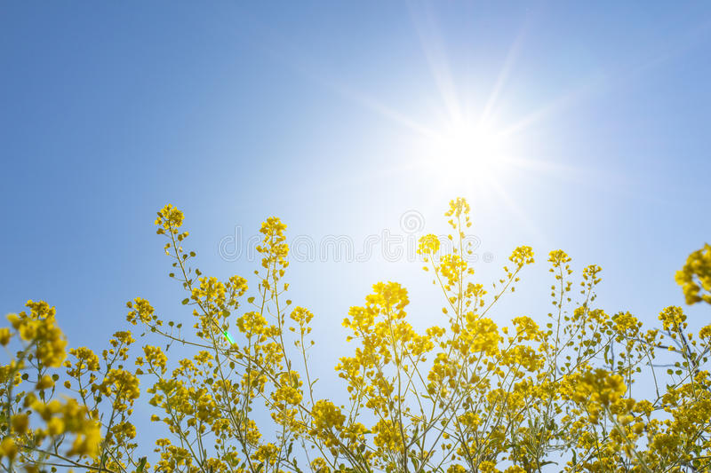 Vivid fresh yellow canola flower with sun shine daylight flare a stock photography