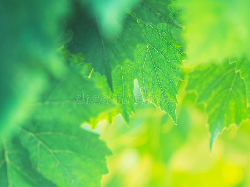Grape Leaves Background royalty free stock photos
