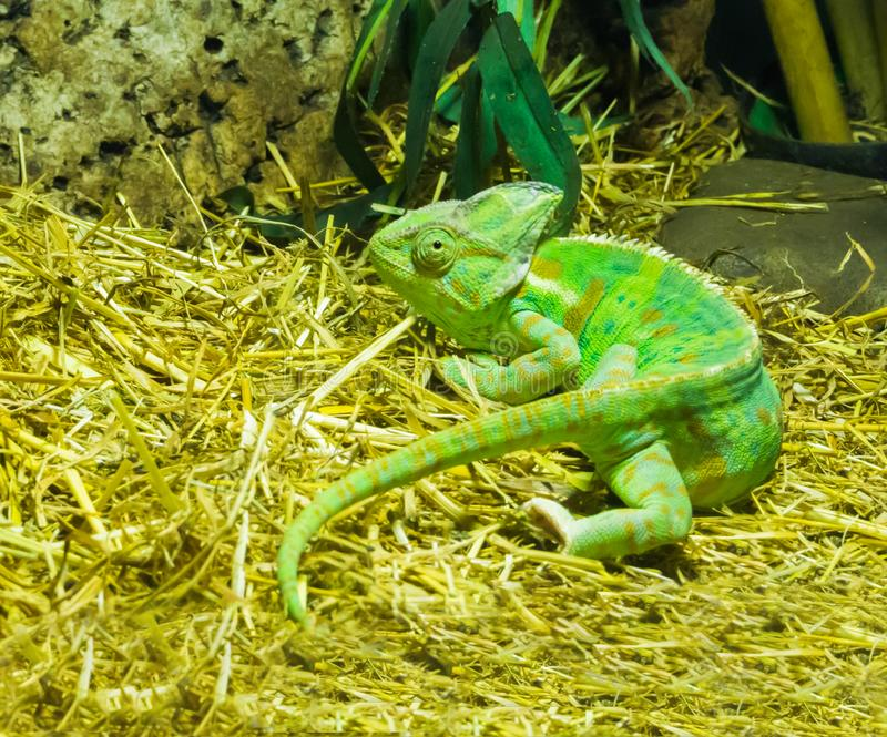Vivid green colored cone head chameleon a tropical terrarium pet from arabia. A vivid green colored cone head chameleon a tropical terrarium pet from arabia royalty free stock images