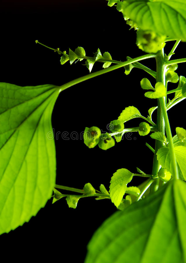 Vivid green leaves of Indian acalypha copperleaf in black backgr. Fresh leaves of Indian acalypha copperleaf, Three-seeded mercury, in black background royalty free stock photo