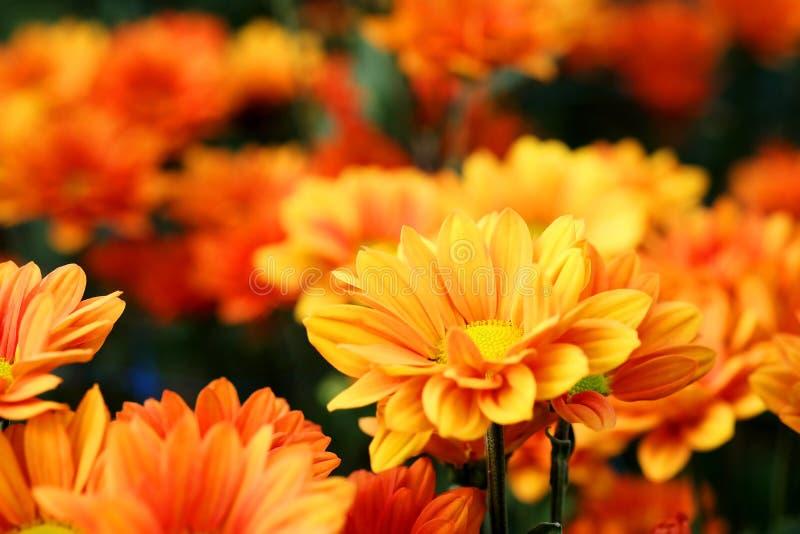 Vivid Orange Chrysanthemum in flower garden agriculture background. With daylight stock image