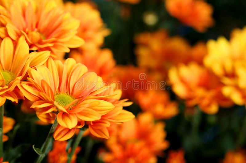 Vivid Orange Chrysanthemum in flower garden agriculture background. With daylight royalty free stock image
