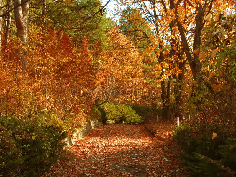 Vivid orange red autumn fall in the park forest and a small path covered with dried tree leaves. royalty free stock images