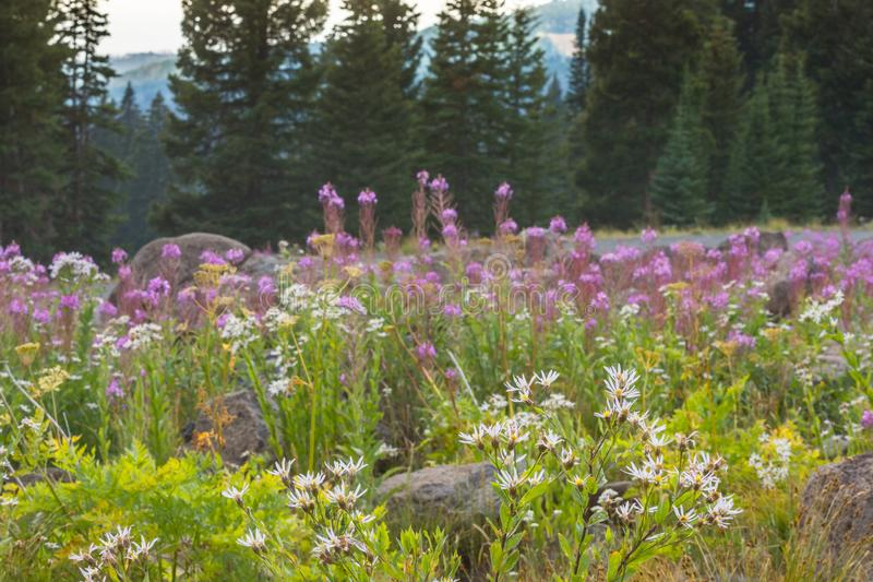 Vivid Pink Fireweed And White Englemann Asters Wildflowers In Colorado royalty free stock photography