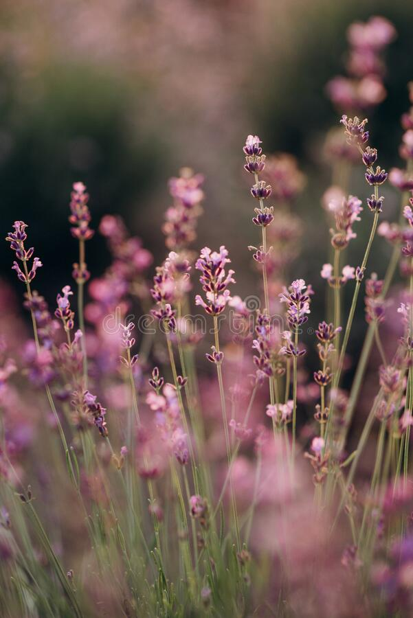 Vivid purple lavender flowers in the backlight of a sunset. Aromatherapy Soft focus. Natural cosmetics stock photography