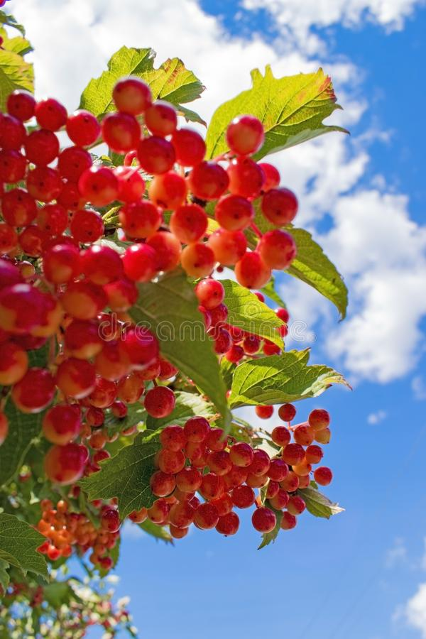 Red viburnum berries on branch in the garden. Green foliage backlit by the sun. stock photo