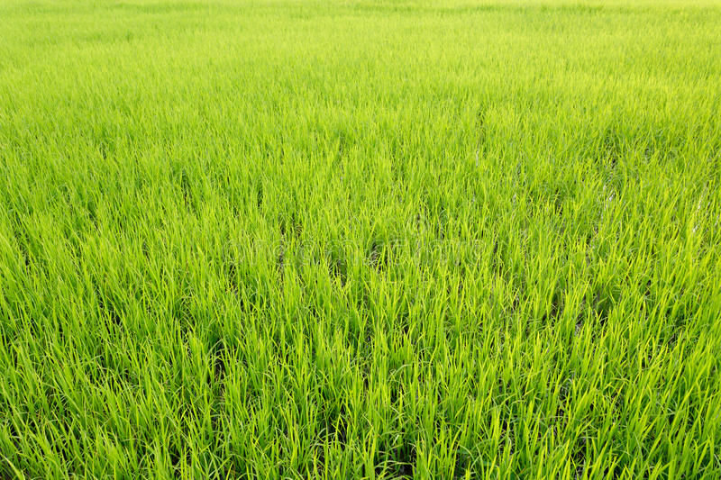 Download Vivid rice field stock image. Image of cultivate, foliage - 19792525
