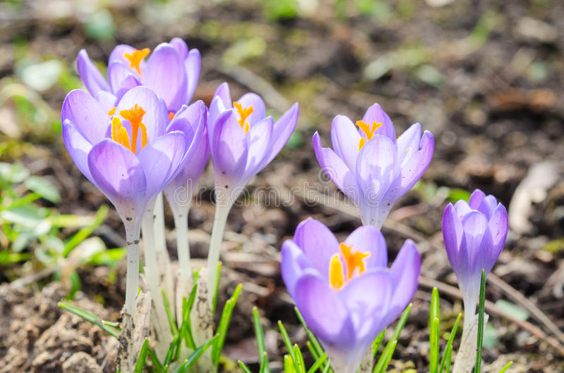 Download Vivid Spring Blooming Crocuses Or Saffron Sun Backlit Flowers Stock Image - Image of clear, copyspace: 51483755