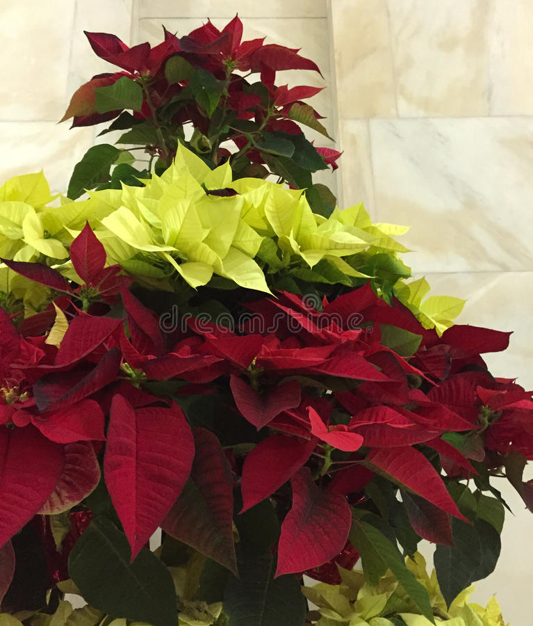 Vivid two color poinsettia layered tree. Red and lime green poinsettias stacked to form a tree stock images