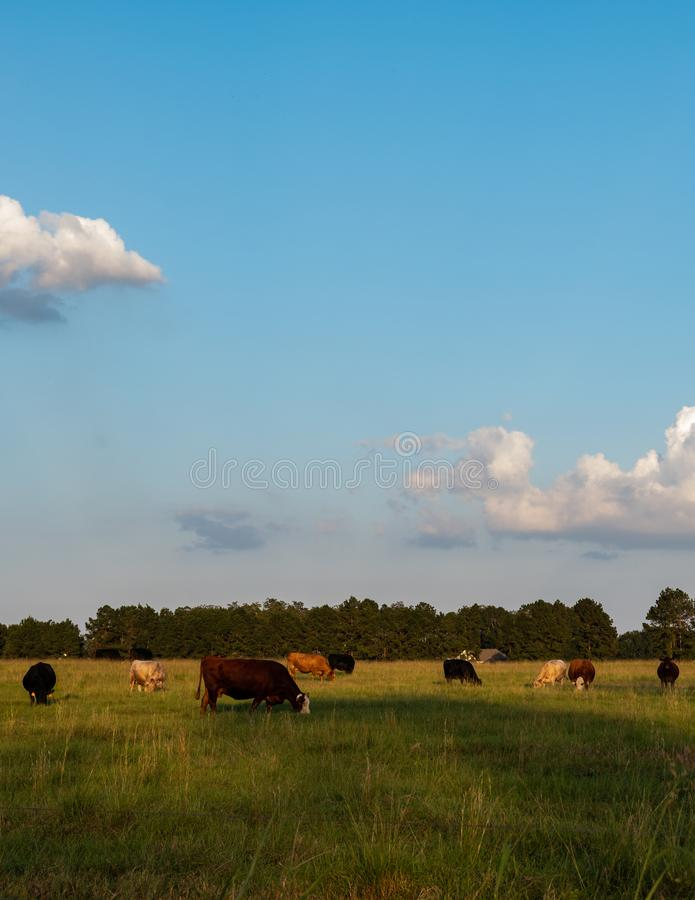 Vivid vertical commerical cows grazing. Commercial crossbred beef cattle grazing in late afternoon in a summer pasture - vertical orientation and vivid colors royalty free stock photo