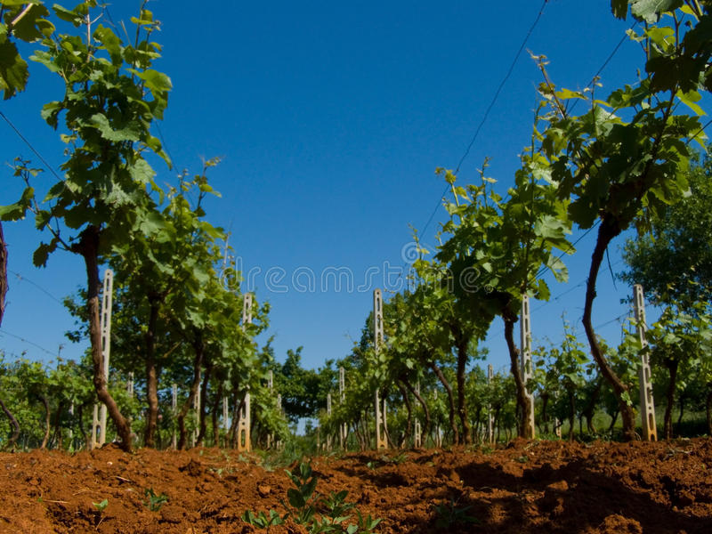 Vivid vineyard detail royalty free stock photography