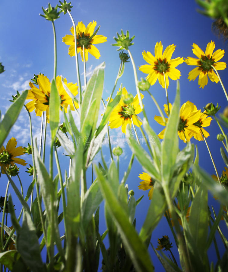 Download Vivid Yellow Flowers On Blue Sky Stock Image - Image of multiple, bouquet: 11365845