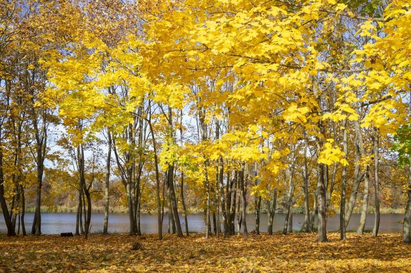 Vivid yellow foliage on trees on river bank stock image