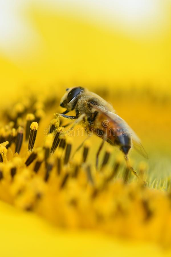 Vivid yellow Sunflower with honey bee pollinate mirco photo close up shot busy bumblebee stock images