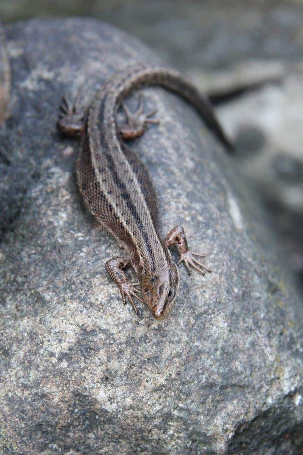 Viviparous lizard royalty free stock image
