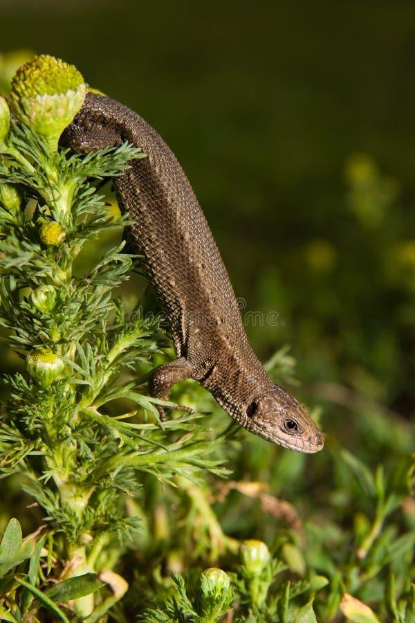 Download Viviparous Lizard, Lacerta Vivipara Stock Photo - Image: 8513488