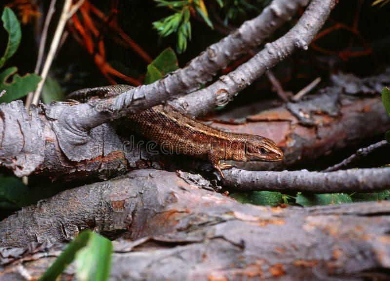 Viviparous lizard (lacerta vivipara) royalty free stock images