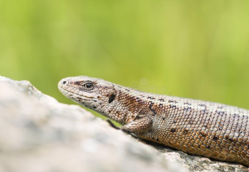 Viviparous lizard. Watching around attentively stock photography