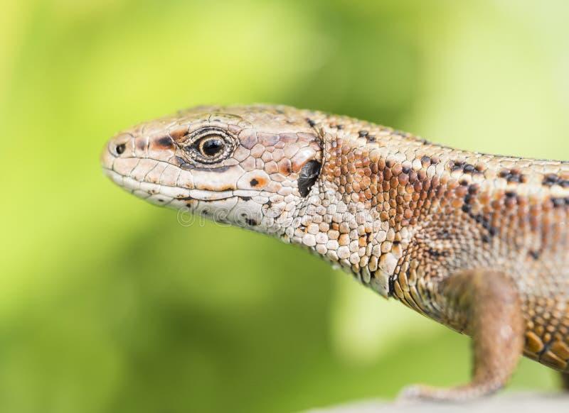Viviparous lizard. Watching around attentively stock photos