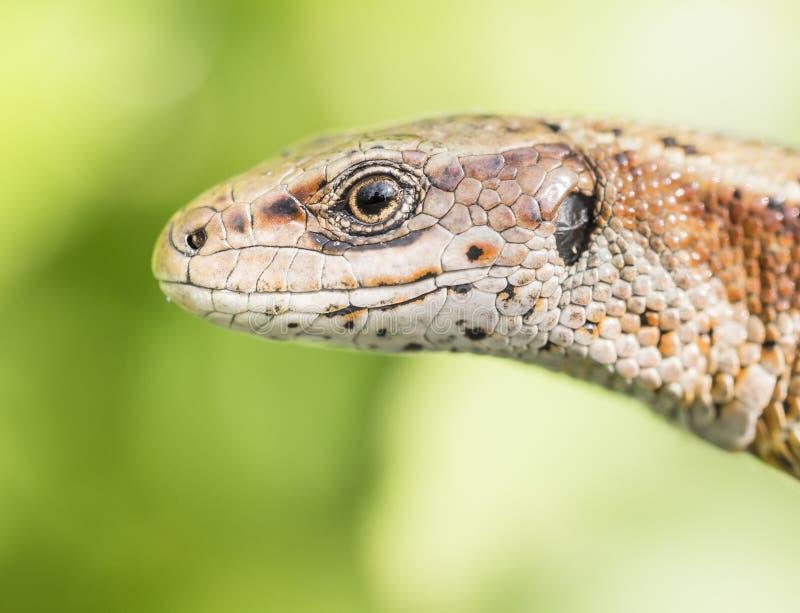 Viviparous lizard. Watching around attentively royalty free stock image
