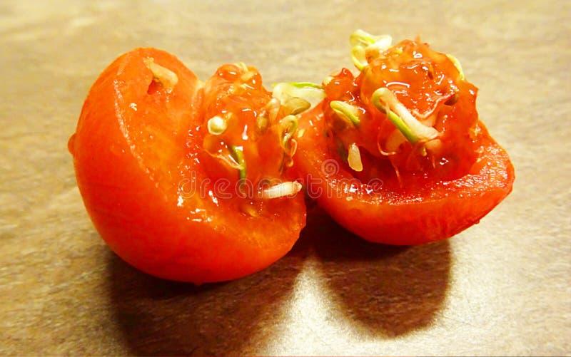 Vivipary in pomodori I semi stanno germogliando dentro un pomodoro maturo Avvenimento insolito ed atipico fotografie stock libere da diritti