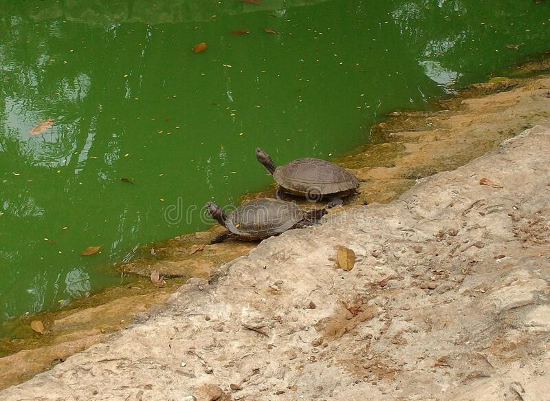 Pair of turtles. On the shore of a pond stock photos